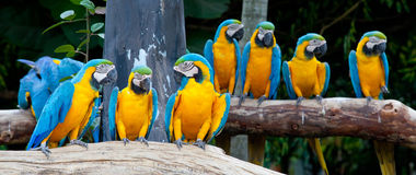 Macaws colorés Photo stock