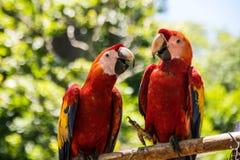 Macaws Copan Στοκ φωτογραφία με δικαίωμα ελεύθερης χρήσης