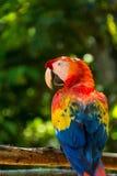 Macaws Copan Στοκ Εικόνες