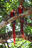 Macaws. Couple of macaws hanging out on a tree Royalty Free Stock Photo