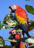 Macaws d'écarlate Photos libres de droits