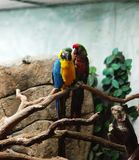 Macaws de la belleza imagenes de archivo