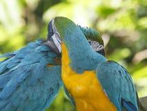 Macaws de los pares Fotos de archivo libres de regalías