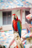 Macaws del escarlata Imágenes de archivo libres de regalías