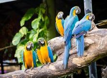 Macaws del escarlata Imagen de archivo libre de regalías