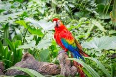 Macaws del escarlata Foto de archivo libre de regalías
