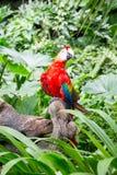 Macaws del escarlata Fotografía de archivo libre de regalías