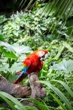 Macaws del escarlata Imagen de archivo