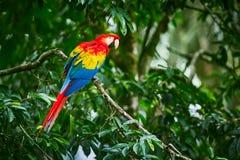 Macaws del escarlata, Ara Macao, pájaro que se sienta en la rama Loros del Macaw en Costa Rica imagen de archivo