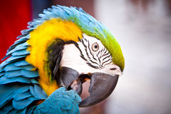 Macaws del escarlata, loro Imagen de archivo libre de regalías