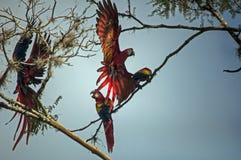 Macaws del escarlata que aterrizan en las ramas Imagenes de archivo