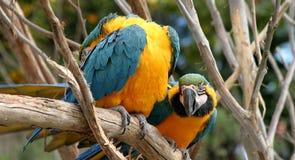 Macaws dell'oro e dell'azzurro Immagini Stock