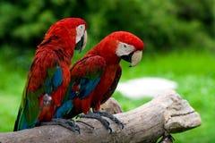 Macaws di accoppiamenti Immagini Stock