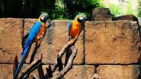 Macaws do Azul-e-Ouro Fotografia de Stock