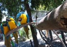 Macaws en primer Imagen de archivo
