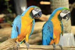 Macaws hermosos Imagen de archivo