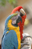 Macaws Stock Photography