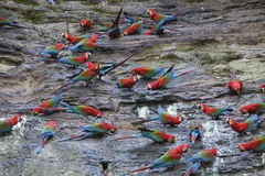 Macaws. Located on a rock where they eat every morning Royalty Free Stock Photo