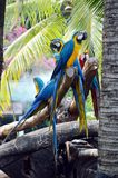 Macaws on the log Stock Photo