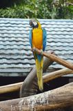 Macaws on the log Royalty Free Stock Photo