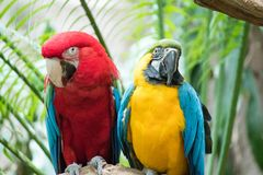 A beautiful pair of macaws perched on a tree stock photo