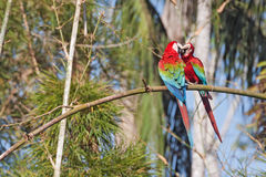 Macaws in love Royalty Free Stock Photo
