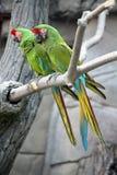 Macaws militares (Ara Militaris) Imagens de Stock Royalty Free