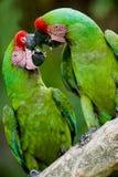 Macaws militares románticos Fotos de archivo
