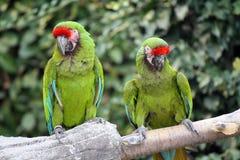 Macaws militari (Ara Militaris) Fotografie Stock Libere da Diritti