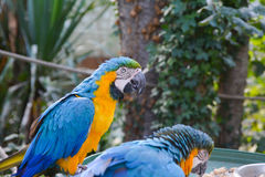 Macaws parrots couple. Macaws blue yellow parrots in a park stock images