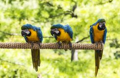 Macaws Perching. Macaws on perch looking around royalty free stock images