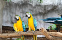 Macaws perching at wood branch. A pair of macaws perching at wood branch in the zoo Royalty Free Stock Image