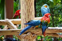 Macaws Stock Image