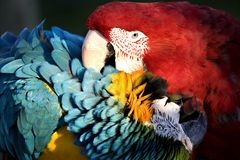 Macaws playing  Royalty Free Stock Photo