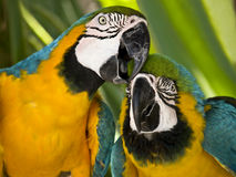 Macaws posing to camera. Two macaws in vibrant colors posing to camera Stock Photo