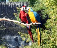 Macaws Preening. A blue and yellow and a scarlett macaw preening standing on a branch in front of a waterfall Stock Photo