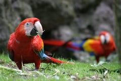 Macaws rojos Fotos de archivo