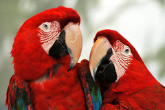 Macaws rossi Fotografia Stock Libera da Diritti