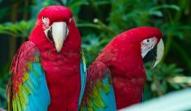 Macaws rossi Immagini Stock Libere da Diritti
