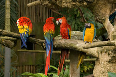 Macaws, Singapore Stock Photography
