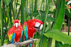 Macaws in tropical nature Royalty Free Stock Image