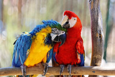 Macaws Royalty Free Stock Image