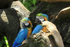 Macaws variopinti Immagine Stock Libera da Diritti