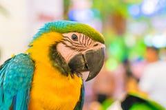 Macaws variopinti Immagine Stock