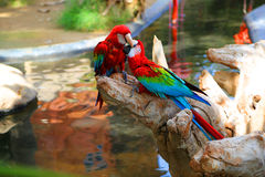 Macaws Stock Photo