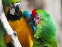 Macaws zwei gehockt auf einem Baum Lizenzfreie Stockfotografie