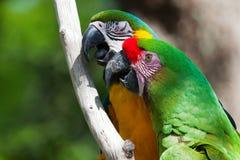 Macaws zwei gehockt auf einem Baum Stockfotografie