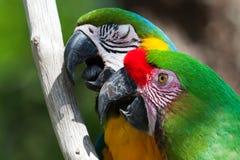 Macaws zwei gehockt auf einem Baum Stockfotos