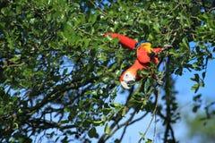 macawscharlakansrött Fotografering för Bildbyråer