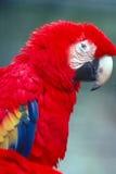 macawscharlakansrött Royaltyfria Foton
